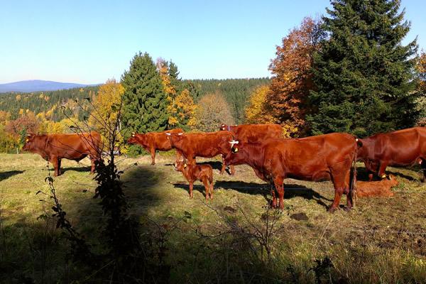 Rote Harzkühe auf Harzer Bergwiesen